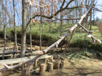 クヌギの花芽とドングリの芽.JPG