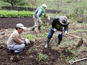 サトイモの収穫.JPG