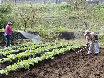 ダイコンの施肥と水遣り.JPG