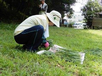 ニラの収穫.JPG