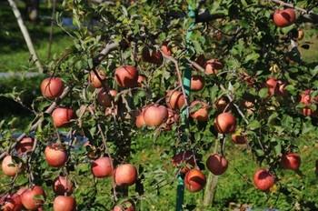 リンゴの木.jpg