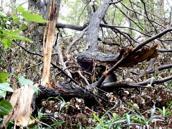 台風で折れ落ちた枝.JPG