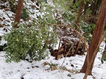 雪で折れ曲がった木.JPG